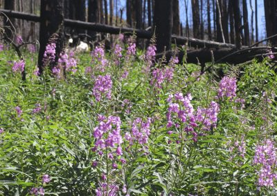 Fireweed (Chamerion angustifolium) - Sartoris Road